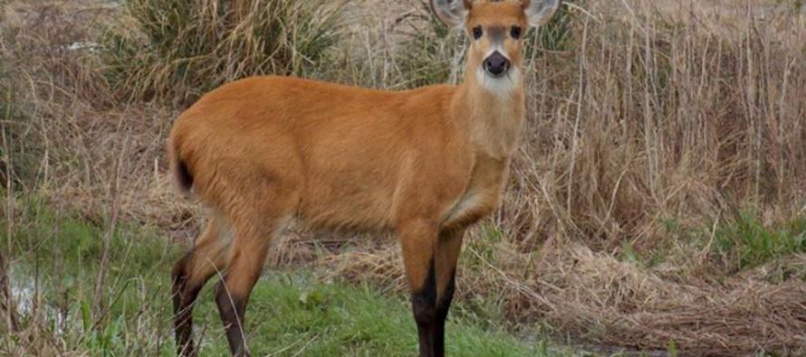 Un informe indica que el ciervo de los pantanos del Delta del Paraná está en peligro