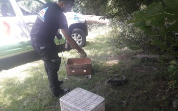 San Fernando: Defensa Civil capturó un lagarto overo en un domicilio y lo devolvió a su hábitat natural