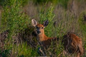 Ciervo de los pantanos hembra