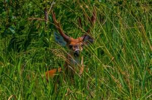 Ciervo de los Pantanos macho