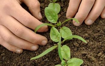 Espinaca, un cultivo fácil y nutritivo para sembrar en febrero