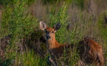 Coronavirus: en el Delta volvieron a verse ciervos y hay menos riesgo de contagio