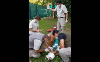 Se recupera el ciervo de los pantanos que debió ser intervenido