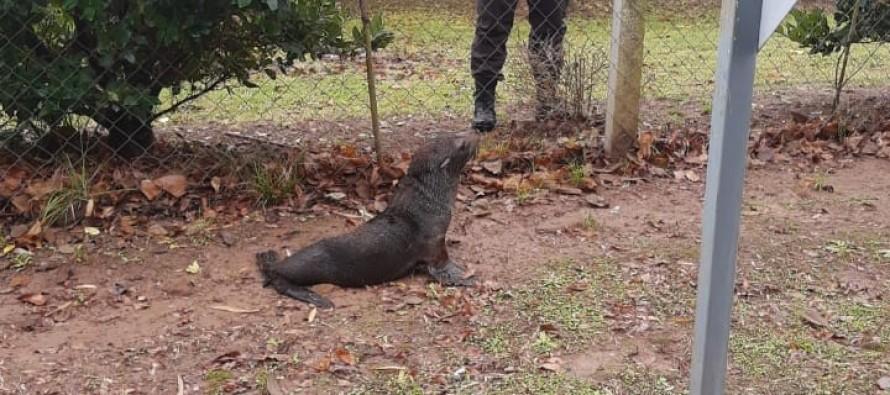 Rescatan a un lobo marino en un barrio privado de Escobar a orillas del río Luján