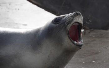 Volvieron al mar los lobos marinos rescatados fuera de su hábitat