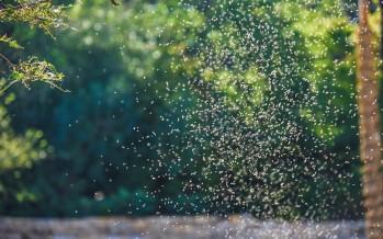 Invasión de mosquitos: ¿a qué se debe el fenómeno y cuánto durará?