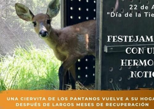 Abierta la votación para elegir el nombre de la ciervita que será devuelta a su hábitat