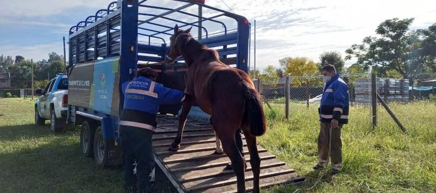 Matheu: fueron rescatados seis caballos sometidos a maltrato