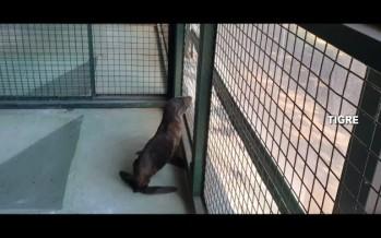 Tigre: rescataron a un lobo marino que estaba varado en un zanjón